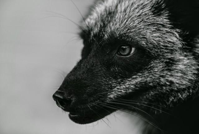 Właściciel fermy w Kościanie, mimo zakazu hodowli, nadal się nią zajmuje. Fermę lisów przepisał oficjalnie na żonę.