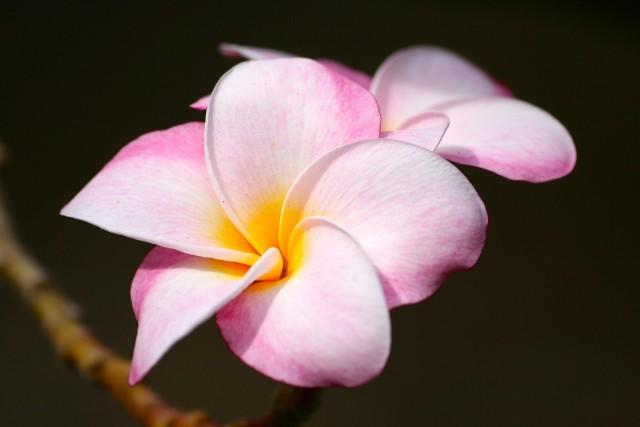 Plumeria o różowych kwiatachPlumeria – kwiat zakochanych. Czym charakteryzuje się plumeria