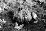 Bolek nie żyje. Lew z chorzowskiego zoo miał zaledwie 6 lat. Był królem Śląskiego Ogrodu Zoologicznego