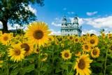 Pola słoneczników w Białymstoku. To teraz najmodniejsze miejsce w mieście. Zdjęcie ze słonecznikami w tle chce mieć każdy