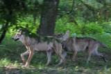 Wilki w starachowickich lasach. Jest nagranie [WIDEO]