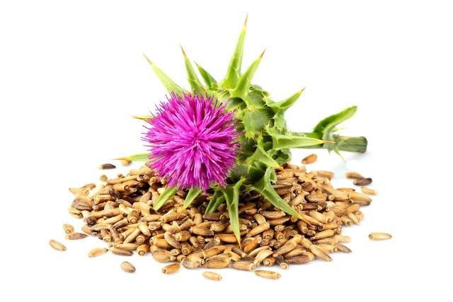 Ostropest to roślina lecznicze, której lecznicze właściwości wykorzystywane są w celu wspomagania funkcjonowania wątroby