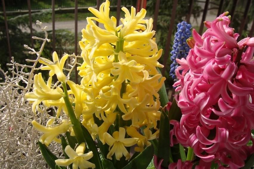 Hiacynty to bardzo okazałe rośliny cebulowe. Ich kwiaty nie...