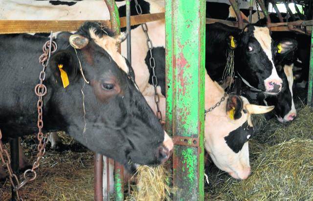 Producenci mleka boją się kar i będą zabiegać o pomoc Sytuacja branży mleczarskiej jest zła. W niektórych rejonach Polski rolnicy sprzedają mleko poniżej kosztów produkcji. A co będzie, kiedy znowu przyjdzie im zapłacić kary za przekroczenie swoich limitów produkcyjnych?