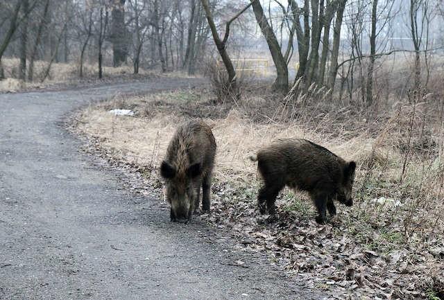 Liczenie dzików nie jest dla leśników czymś nowym. Inwentaryzację określającą liczebność zwierzyny - także jeleni, danieli i saren - przeprowadza się co roku wiosną (w tym roku w Kujawsko-Pomorskiem doliczono się 14 131 dzików).