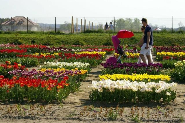 Międzynarodowe Targi Tulipanów w Chrzypsku: Cztery dni z tulipanami, koncerty, pokazy