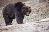Jodłówka Wałki. Żdżary. Leśnicy na tropie śladów wybudzonego niedźwiedzia