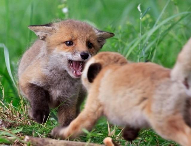 Zabawne są młode liski. Przepychają się, naskakują na siebie, gryzą, urządzają gonitwy bądź zabawy w chowanego.