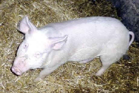 """O ocalenie świnki apelują internauci. """"Mam nadzieję, że nie pójdzie na kotlet, bo jest cudna"""","""