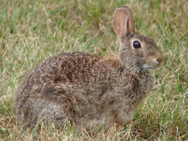 Zające, dzikie króliki kuropatwy i bażanty wracają na kujawsko-pomorskie pola