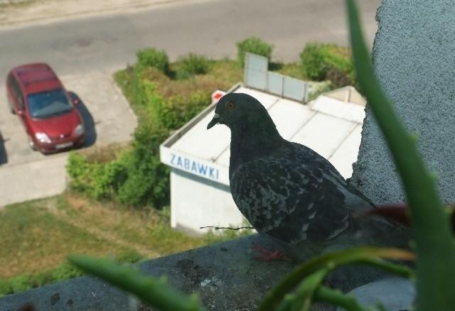 Siadające na parapetach i balkonach ptaki są zmorą wielu mieszkańców.