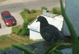 Łodzianie kontra gołębie. Druty pod napięciem, kolce, siatki
