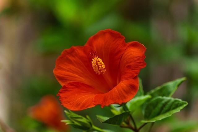 Ketmia - róża chińskaJeśli ketmia będzie miała za mało światła - nie zakwitnie.