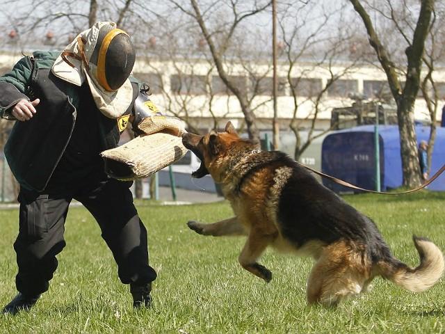 Psy patrolująco-tropiące muszą być odważne i mieć wrodzoną agresję.