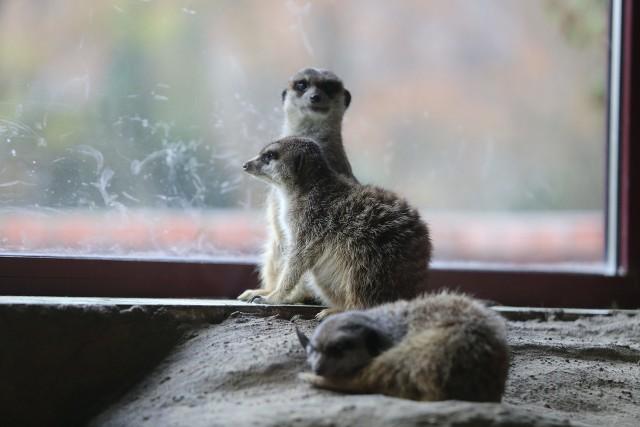 W czasie ferii warto odwiedzić mieszkańców Śląskiego Ogrodu Zoologicznego.Zobacz kolejne zdjęcia/plansze. Przesuwaj zdjęcia w prawo - naciśnij strzałkę lub przycisk NASTĘPNE