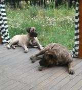 Właściciel dogów, które niemal zagryzły dziecko, nie ma zezwolenia na ich posiadanie