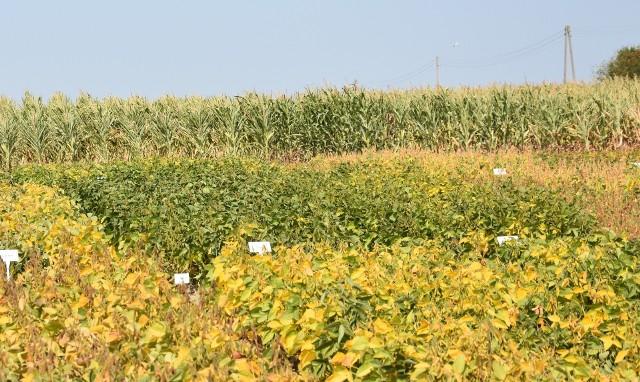 W naszym województwie uprawia się dużo kukurydzy i coraz więcej soi