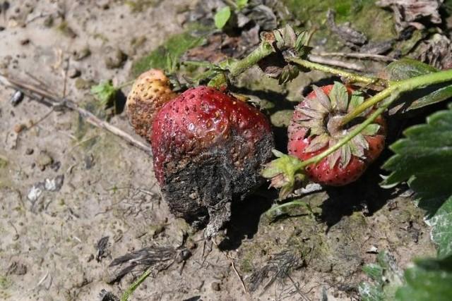 Sezon truskawkowy w świętokrzyskiej gminie Bieliny, która truskawkami stoi. Podobnie jest w całej Polsce