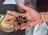 Ogromny pająk wystraszył mieszkańców bloku w Tychach