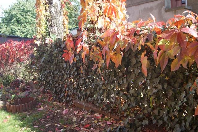 Ogrodzenie z siatkiZgrany duet: gdy winobluszcz zrzuci pięknie wybarwione liście, bluszcz pospolity nadal szczelnie okrywać będzie siatkowe ogrodzenie.