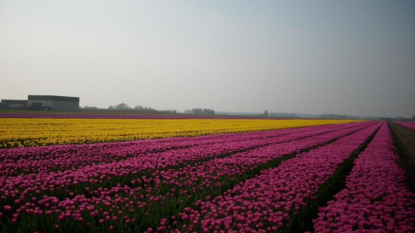 pola tulipanowe...