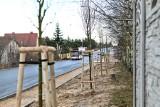 Częstochowa: Na wyremontowanej ulicy św. Brata Alberta zasadzono blisko 100 drzew i ponad 1300 krzewów