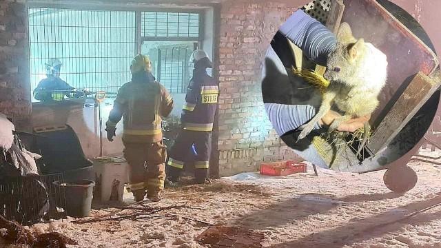Dzięki błyskawicznej akcji strażaków uratowano życiemałych kangurów.