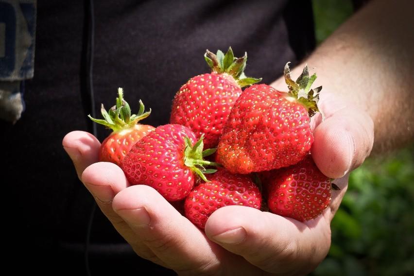 Truskawki to jedne z naszych ulubionych owoców, a sezon na nie niestety trwa dość krótko. Dlatego kiedy tylko pojawiają się na targach i w warzywniakach, kupujemy je niemal nałogowo. Niestety ceny truskawek polskich wciąż są jeszcze stosunkowo wysokie, dlatego często zdarza się, że sprzedawcy nas oszukują.