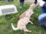 80 psów odebranych w Kicinie trafiło do schronisk a w Skałowie. Co się z nimi stanie?