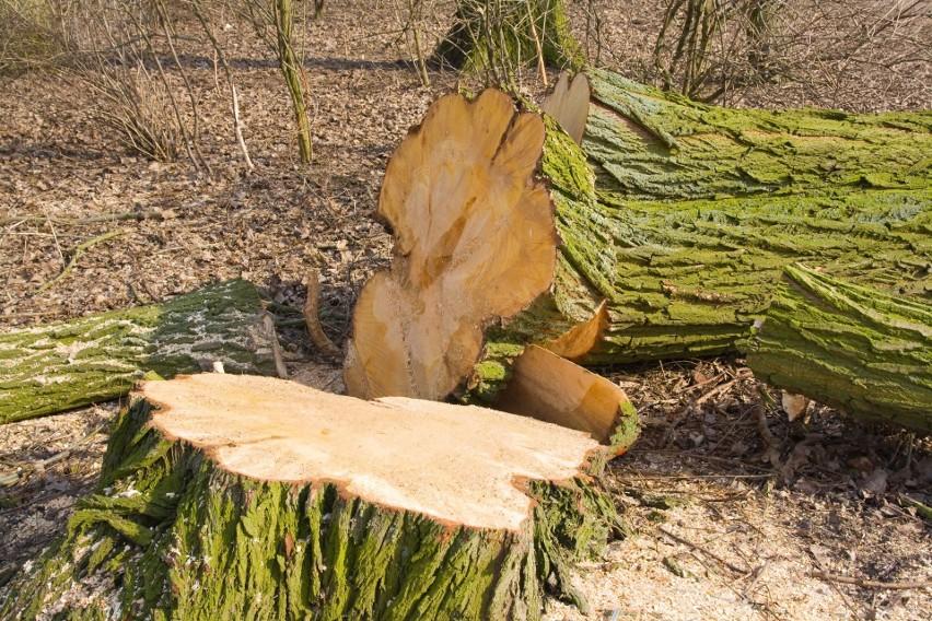 Chcesz wyciąć parę drzew z działki i sprzedać drewno?...
