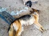 Sokółka. Właścicielka psów z hodowli: w sieci zaszczuto mnie i moje dzieci