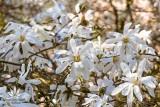 Wiosna w arboretum w Rogowie. Zobaczcie, co tam teraz kwitnie ZDJĘCIA