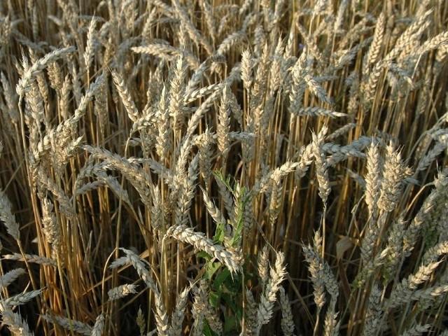 Jeśli warunki są sprzyjające tak jak w tym roku to takie plantacje pszenicy plonują i tak wyżej niż formy jare zasiane w terminie wiosennym.