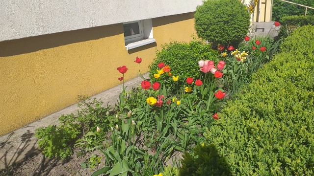 Kwiaty zdobią chełmińskie osiedla. Mieszkańcy dbają o swoje otoczenie