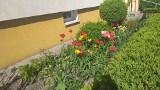 Chełmno. Na osiedlach w Chełmnie coraz więcej kwiatów. Zobaczcie zdjęcia