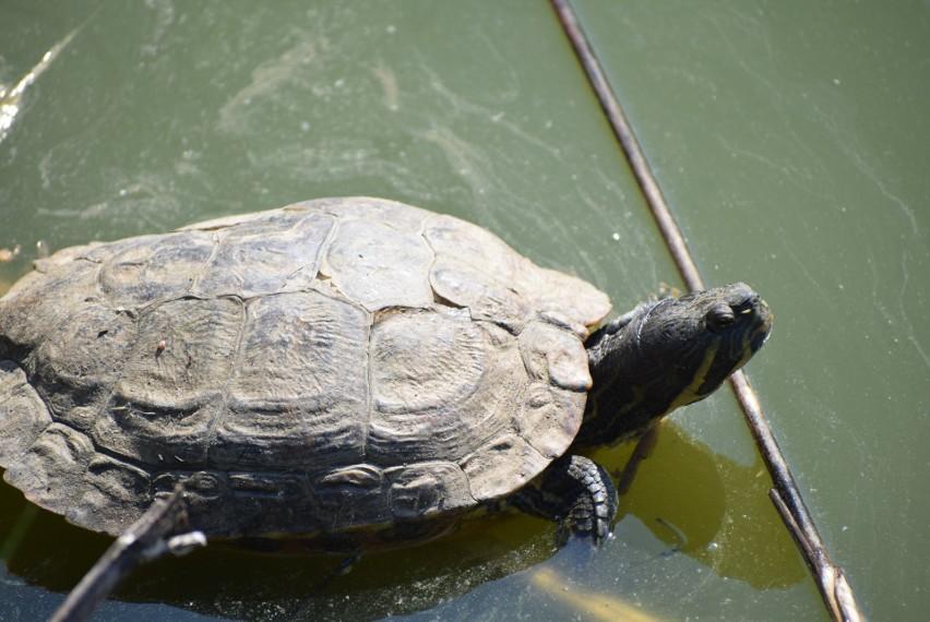 Stawem koło sieradzkiego Urzędu Miasta zawładnęły ... żółwie i rybki akwaryjne - ZDJĘCIA
