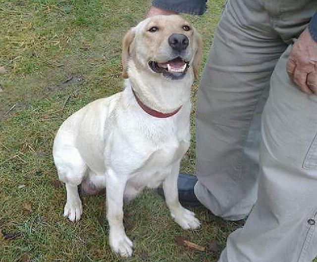 Oto Zula, niespełna roczna labradorka, która straciła dom i dzieci. Czeka na kogoś, kto ją przygarnie.
