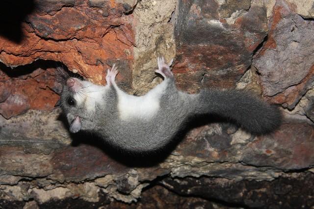 Popielica to jeden z gatunków, którego obecności w opolskich lasach poszukują naukowcy.