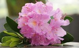 Jedne z najpiękniejszych kwiatów, czyli azalie doniczkowe i wielokwiatowe. Przydatne informacje o uprawie [opis, pielęgnacja, zdjęcia]
