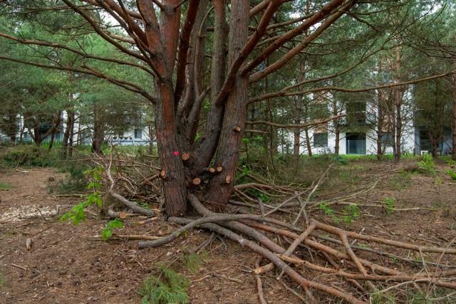 Firma z Wyrzyska chce postawić trzy bloki czterokondygnacyjne przy ul. Żemojtela na osiedlu Pod Skarpą. Drzewa idą pod topór.