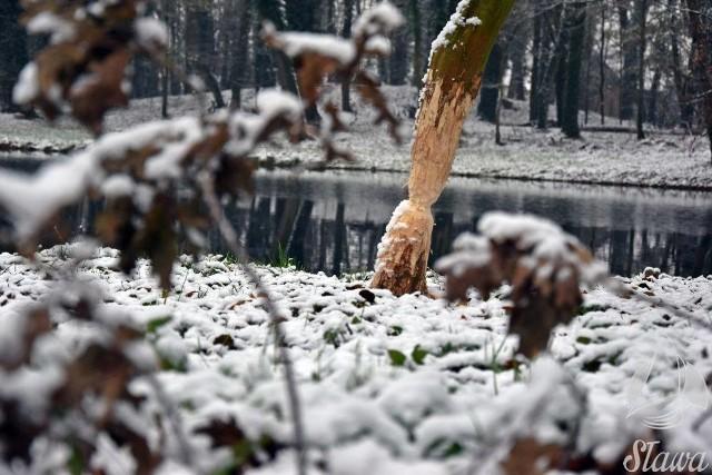- Tak jak w ostatnich latach zima przychodzi do Sławy dość nieśmiało. Przyszła pora na pierwsze opady śniegu, pojawiła się delikatna pokrywa śniegu, sprawiająca, że krajobraz nieco się zabielił - opisują pracownicy urzędu miejskiego w Sławie. Zimowo w środę (21 listopada) rano było także we Wschowie.Zobacz również: Sprawdź pogodę na zimę 2018/2019