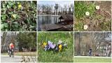 W Tarnowie czuć już wiosnę. Jest coraz więcej zieleni, pojawiły się też pierwsze kwiaty [ZDJĘCIA]