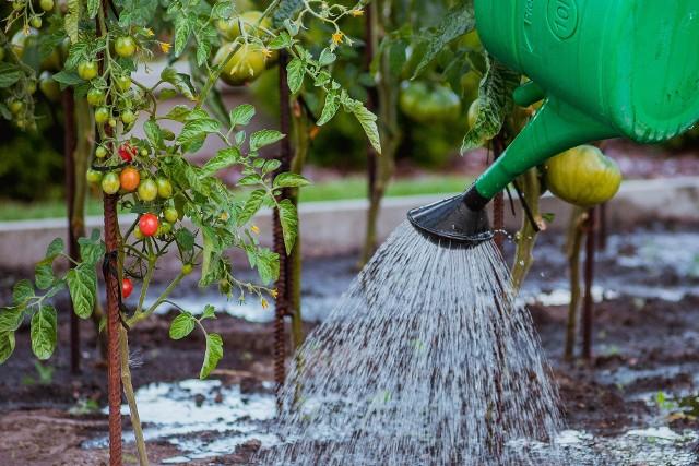Podczas upałów rośliny potrzebują więcej wody. Ale wtedy łatwo też o błędy, które zaszkodzą roślinom.