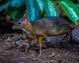 Drugi w tym roku kanczyl, czyli myszojeleń urodził się w zoo w Łodzi. ZDJĘCIA
