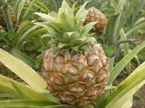 Wielu z plantatorów pomarańczy postanowiło przestawić się na ananasy, które po dziś dzień rosną w starannie kontrolowanych warunkach w szklarniach