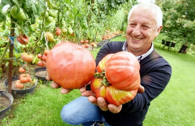 Ogromne pomidory na działce zielonogórzanina Zbigniewa Oleksiejuka