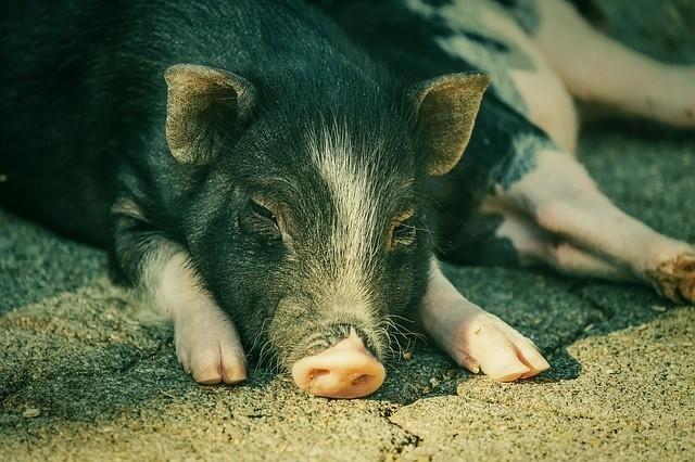 Pierwsze tegoroczne ognisko ASF wśród świń pojawiło się w powiecie świebodzińskim.