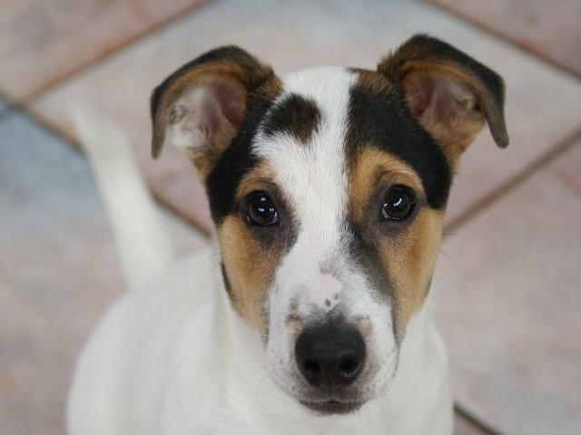 Przeciw wściekliźnie zaszczepiony musi zostać każdy pies po 3 miesiącu życia