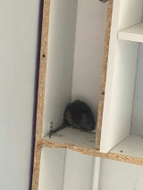 Piątkowo: Szczur wyszedł z kanalizacji na 4. piętrze, buszował po mieszkaniu i zniszczył... [ZDJĘCIA]