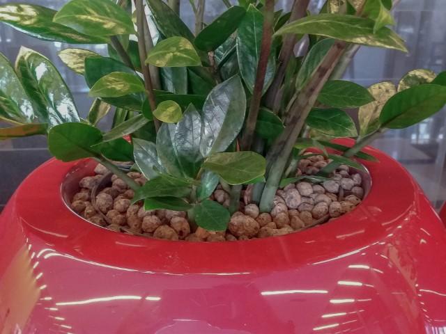 Zamioculcas w donicyZamiokulkas zamiolistny szybko staje się rośliną często spotykaną w uprawie domowej. Tę popularność zawdzięcza odporności na niekorzystne warunki uprawy.  Ten kwiat doniczkowy jest wytrzymały na niedobór wody, światła i wilgoci w powietrzu. Jest też odporny na szkodniki.